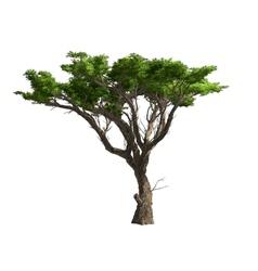 Acacia tree isolated vector