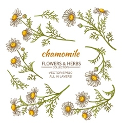 chamomile flowers set vector image vector image