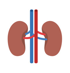 Colorful silhouette renal system of human body vector