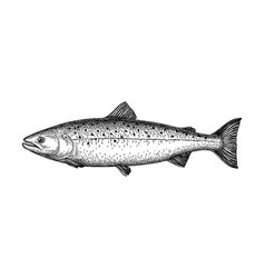Ink sketch salmon vector