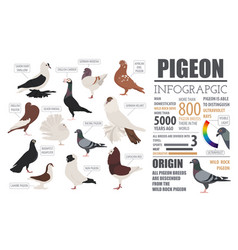 Poultry farming infographic template pigeon vector