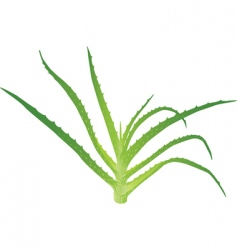 aloe Vera leaves vector image vector image