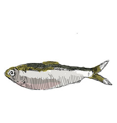 alewife fish on white background vector image