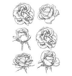 Blooming rose flowers and buds sketches vector