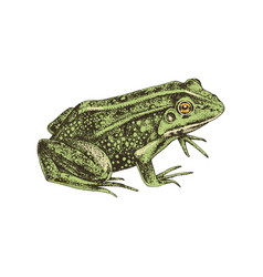 hand drawn common water frog vector image