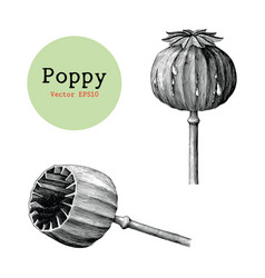 Poppy hand drawing vintage clip art isolated on vector
