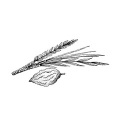 hand drawn of lulav and etrog on white background vector image