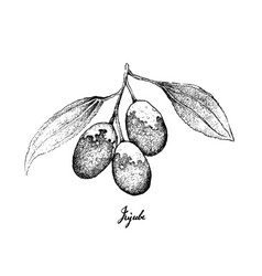 Hand drawn of jujube fruits on white background vector