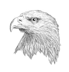 bald eagle head draw and paint on white vector image