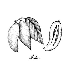 Hand drawn of ripe madan fruits on white backgroun vector