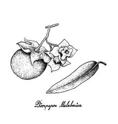 Hand drawn of diospyros malabarica on white backgr vector