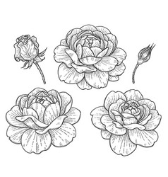 hand drawn rose flowers and buds vector image