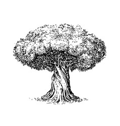olive tree old engraving ecology environment vector image