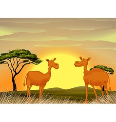 Camels standing in the field at sunset vector image