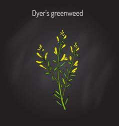 dyer s greenweed or dyer s broom genista tinctoria vector image