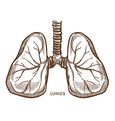 Lungs respiratory system internal organ isolated vector
