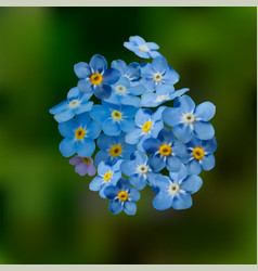 blue forget me not spring flowers vector image