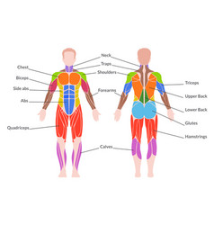 Human muscular system vector