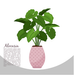 Alocasia indoor plant in pot banner vector