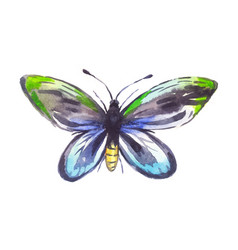 Ornithoptera alexandrae watercolor butterfly vector