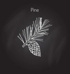 pine branch with pine cone vector image