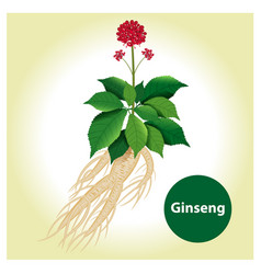 ginseng root with leaf and flower vector image