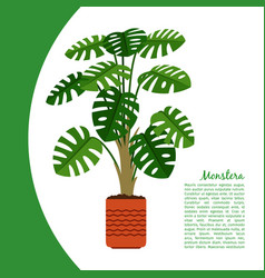 monstera plant in pot banner vector image