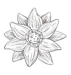 lotus flower aquatic plant hand drawn sketch vector image