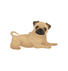 adorable pug puppy with shiny eyes lying isolated vector image