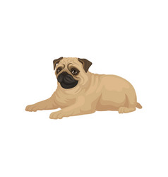 cute pug puppy lying isolated on white background vector image