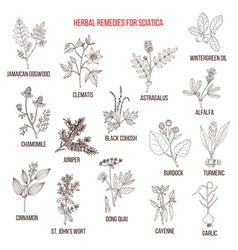 Herbal remedies for sciatica vector