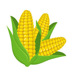 Fresh corn cob isolated on white background vector