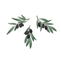 olive branch in watercolor style design for olive vector image