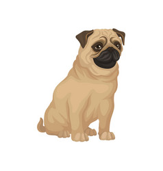 pug with funny muzzle sitting isolated on white vector image