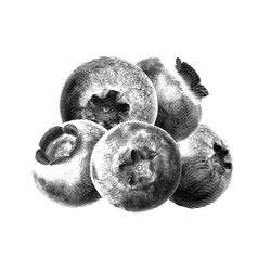 Blueberries drawn sketch without green leaves on vector