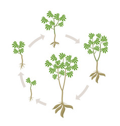 Cassava plant round growth stages set manihot vector