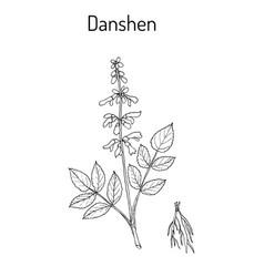 Danshen salvia miltiorrhiza called also chinese vector