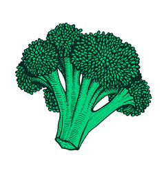 Hand drawn of cauliflower vector
