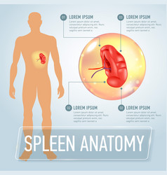 infographic poster with spleen and vector image