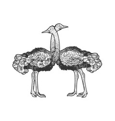 ostrich birds love couple hug sketch vector image
