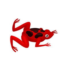 Small red frog with black spots on back amphibian vector