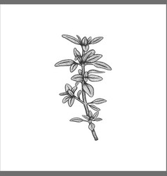 handrawn herb thyme vector image