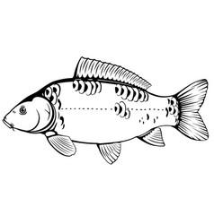 Mirror carp fish black and white vector
