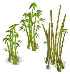 Bamboo on white background isolated vector