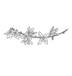 drawing branch forsythia with flowers vector image