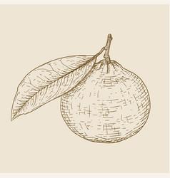 mandarin orange hand drawn sketch on beige vector image