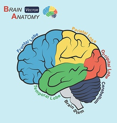 Brain anatomy flat design VT vector image