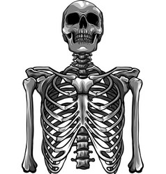 human skeleton posing isolated over white vector image
