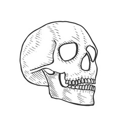 Skeleton of the human head vector