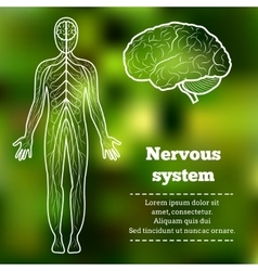 human body nervous system vector image